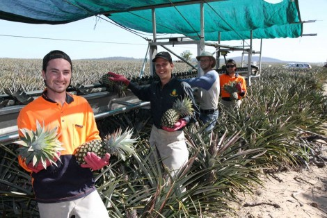 Backpackers working on a  pineapple farm (Source: ABC)